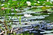 Nenufary lub lilie wodne